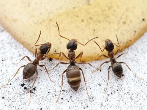 C mo acabar con las hormigas esas molestas inquilinas - Como terminar con las hormigas en casa ...