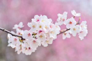 almendros-en-flor