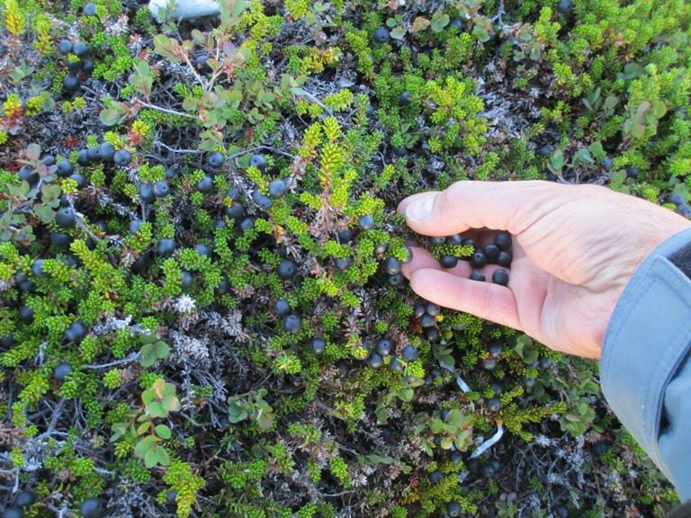 Recolectando bayas de arándano negro en un antiguo asentamiento esquimal. Fiordo de Søndre sermilik 2016