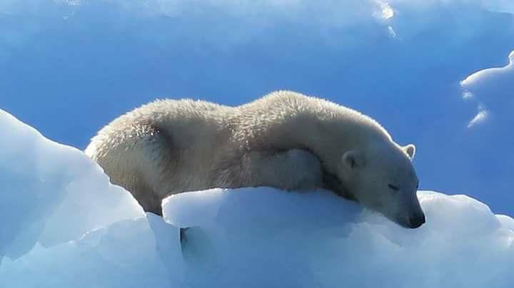 Hablando de fibra hueca...la adaptación de algunos animales al medio nos ha enseñado cómo ellos se defienden por ejemplo al frío extremo del ártico. El color blanco del oso polar es en verdad pelo hueco creando ese color ya que en verdad la piel es de color pardo. Foto de nuestro amigo Ajoo este verano en el fiordo de Tunulliarfik Groenlandia.