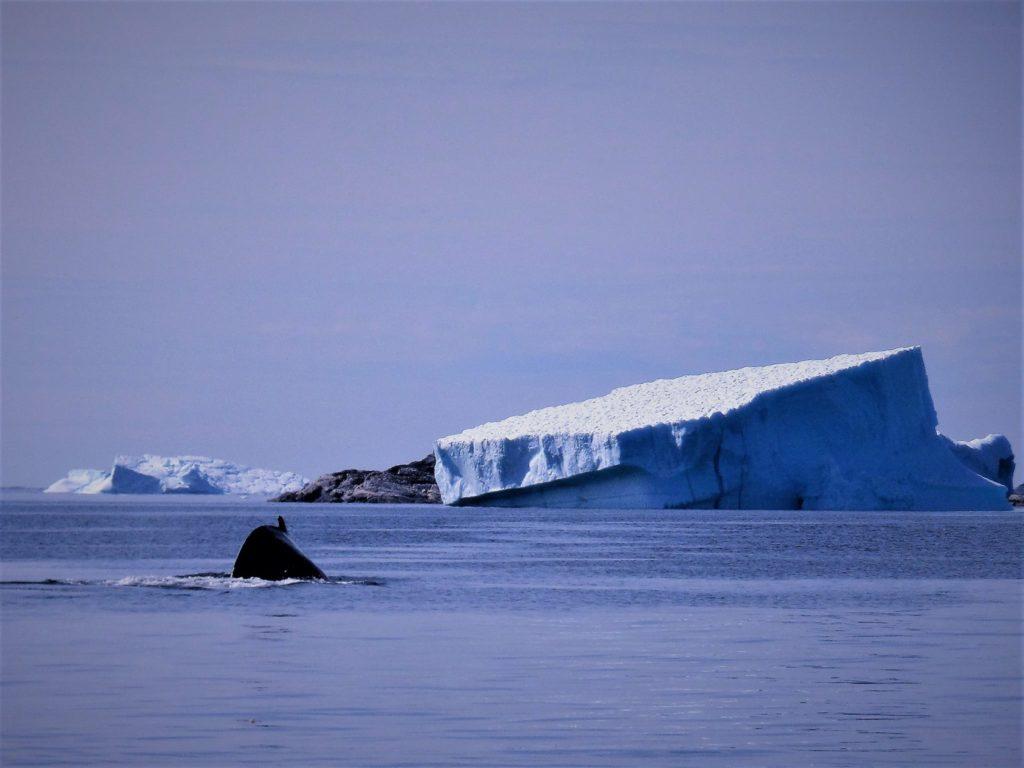 Unas de mis primeras ballenas, en la costa, cerca de la isla de Sarlooq 2014