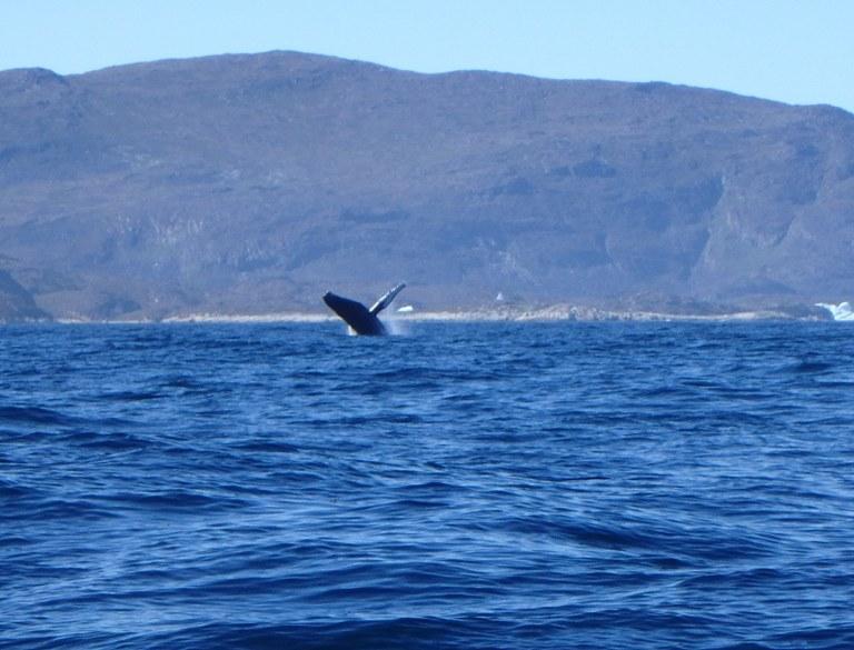 La yubarta es una de las ballenas más acrobáticas.