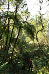 Los Chachi, helechos arborescentes
