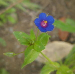 anagallis-arvensis-var-caerulea