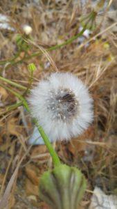 vilano-de-flor-compueta