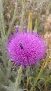 escarabajo-sobre-cardo