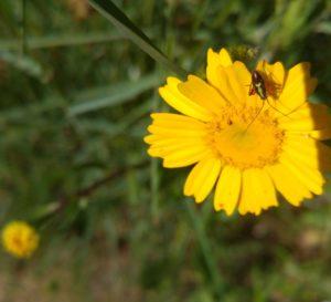 escarabajo-sobre-crisantemo