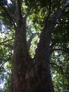 platano-de-sombra