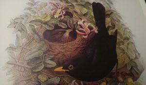John Gould (Las aves de Europa de John Gould, editorial Bibliothèque de l'image).